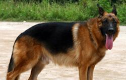 Những loại thực phẩm có hại cho chó becgie bỉ (malinois)