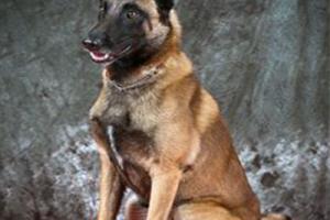 Cần chuẩn bị những gì để sở hữu một chú chó becgie bỉ (malinois)
