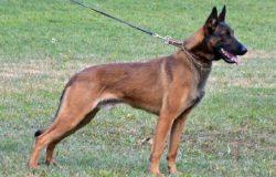 Bệnh nấm da và vảy gàu trên chó malinois