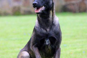 Bệnh Viêm màng phổi (tích nước) trên chó malinois