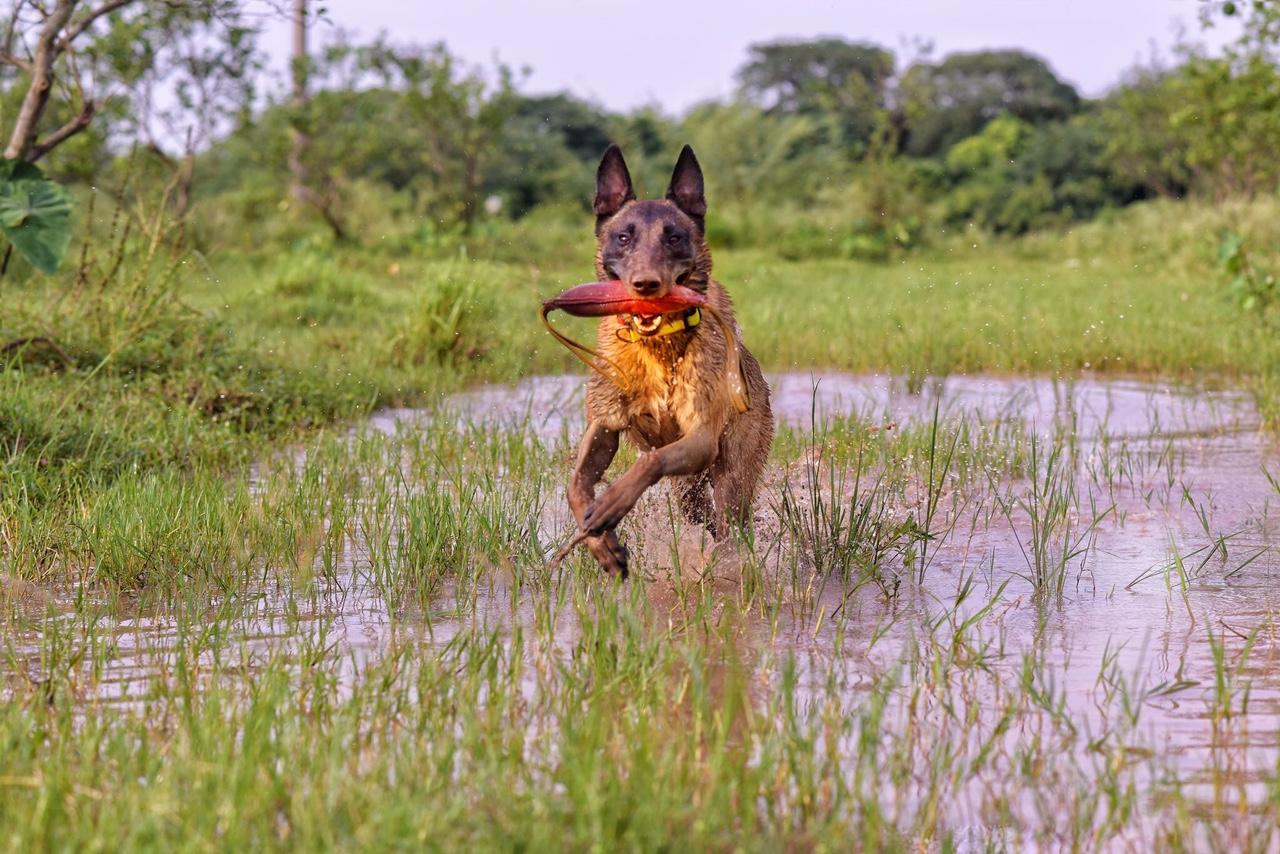 Chó Becgie Bỉ là chó trung thành