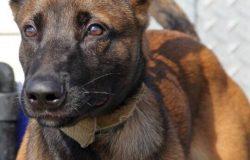 Kỹ thuật chăm sóc chó đang mang thai