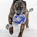 Bán chó Malinois thuần chủng uy tín.Trại chó nghiệp vụ Thanh Tùng