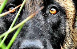 Chó Becgie Malinois và những điều cần biết trước khi nuôi