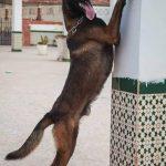 Mua chó Becgie Bỉ tại Hà Nội và giá chó con 2 tháng tuổi