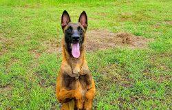 Chó Becgie Bỉ giá bao nhiêu? Cách chọn mua chó thuần chủng.