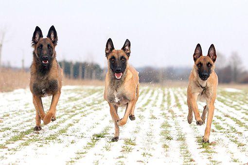 Nên mua bán chó Malinois thuần chủng ở các cơ sở uy tín