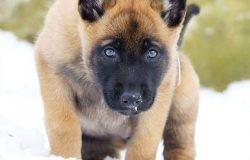So sánh chó Becgie Bỉ thuần chủng và chó Becgie Đức