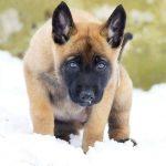 Giá chó malinois con đến ngày xuất chuồng