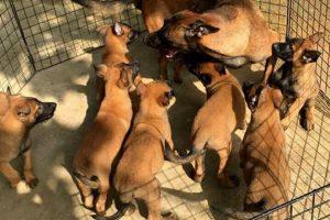 Chó con Malinois dưới hai tháng tuổi và kinh nghiệm chăm sóc chúng