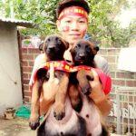 Chó Malinois con được nhân giống tại trại chó nghiệp vụ