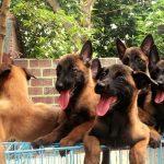 Hình ảnh đàn chó Becgie Bỉ đến ngày xuất chuồng của trại chó nghiệp vụ