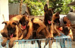 Nguồn gốc xuất xứ chó Malinois giống chó quý của Bỉ