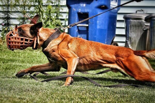 Hình ảnh chó Becgie Bỉ đang làm nhiệm vụ