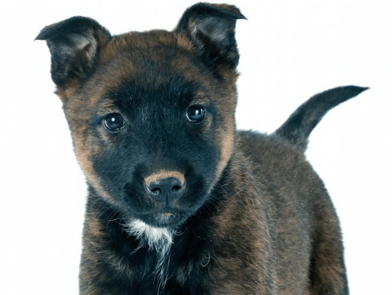 Hình ảnh chó Becgie Bỉ 50 ngày tuổi