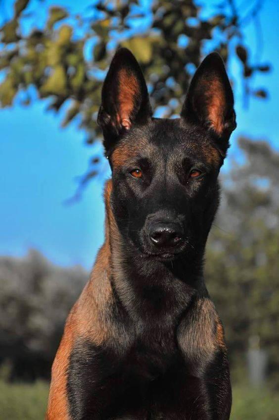 Hình ảnh chó becgie Bỉ thuần chủng khi trưởng thành