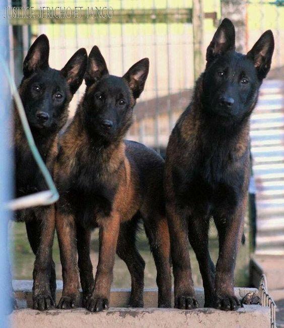 Dòng chó malinois là dòng chó quý hiếm của bỉ
