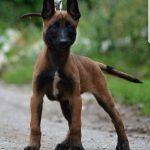Chó Malinois ăn gì? Chế độ ăn cho chó Malinois dành cho người mới chơi