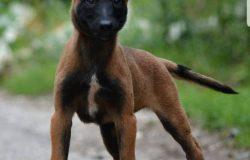 Bệnh Parvo trên chó Malinois.