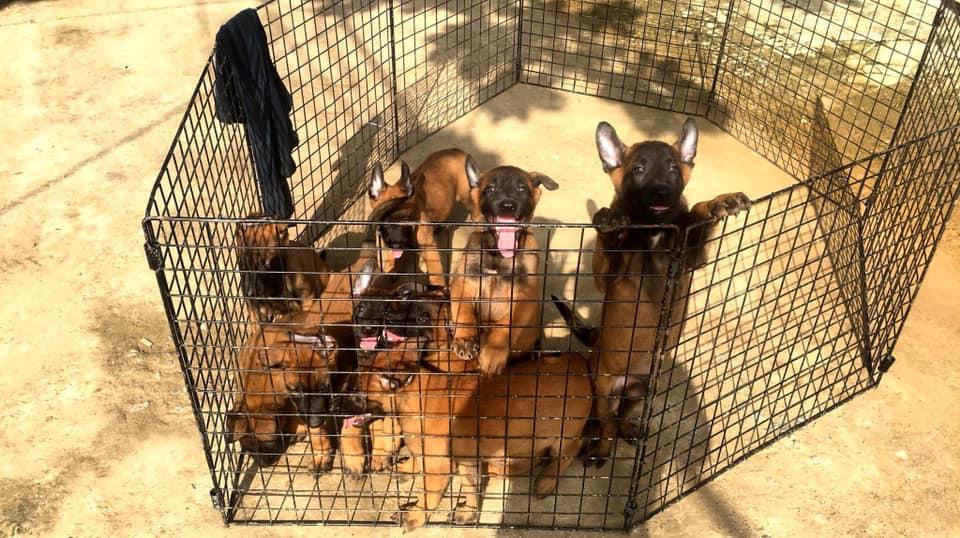 Nên mua chó becgie Bỉ 2 tháng tuổi tại các cở sở nhân giống uy tín