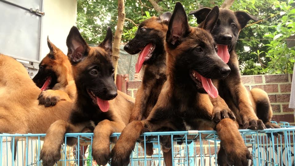 Quá trình sinh sản của chó becgie Bỉ chỉ nên diễn ra ở lần salo thứ 2 để có được đàn chó con chất lượng