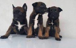 Chó Malinois Bỉ là giống chó gì? Nguồn gốc xuất xứ chó Malinois ở đâu