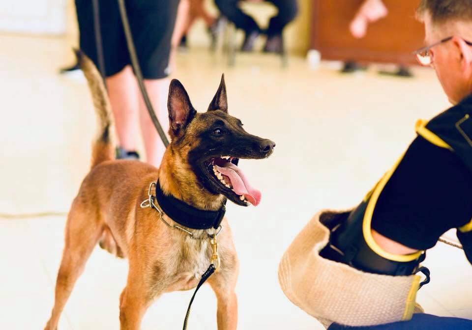 Chó Becgie Bỉ thuàn chủng học bài rất nhanh so với các giống chó khác vì sở hữu chỉ số IQ cao