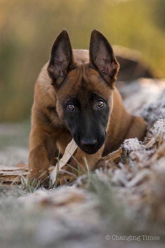Dạy chó Malinois cần tính tỷ mỉ và đặc biệt gắn kết với chú chó