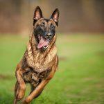 Dạy chó Malinois nghe lời và bảo vệ chủ nhân khi gặp nguy hiểm