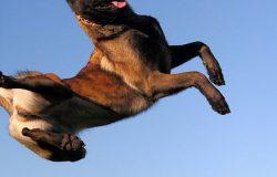 Chó Becgie Bỉ Malinois nặng bao nhiêu cân? Sai đại,sai trung,sai tiểu