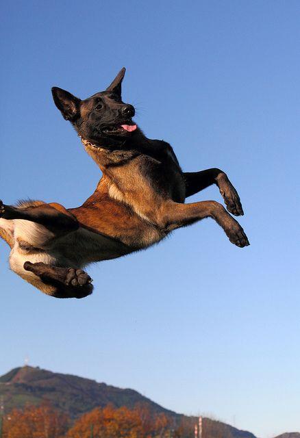 Chó malnois sai tiểu