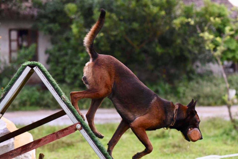 hình ảnh chó Becgie Bỉ khi đang huấn lyện