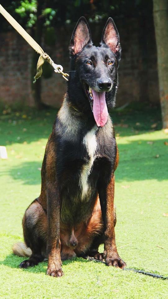 hình ảnh chó Becgie Bỉ nổi tiếng nhất Việt Nam