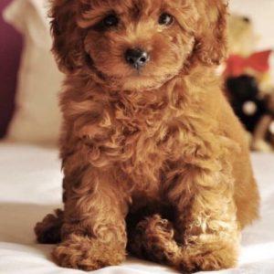 Chó Poodle đang bán đàn số 1