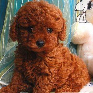 Đàn chó poodle màu kem 2 tháng tuổi