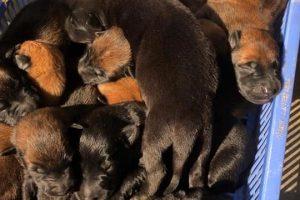 Kinh nghiệm phối giống chó Becgie Bỉ