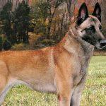 Chó Becgie Bỉ khác gì Becgie Đức?