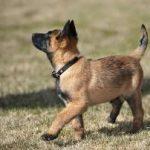 Vì sao nên mua chó Malinois con?
