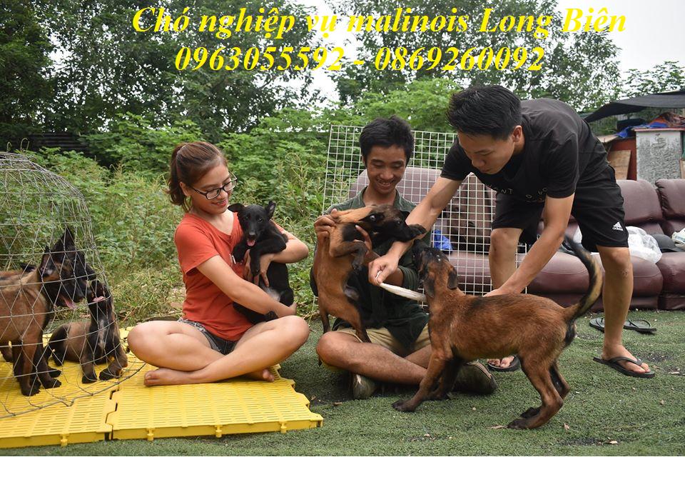 Dòng chó malinois đùa nghịch tại trại chó malinois Long Biên
