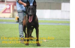 Chó becgie Bỉ có xuất xứ từ đâu?