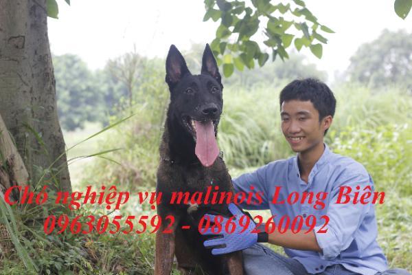 Becgie Bỉ Malinois trưởng thành tại trại chó Malinois Long Biên
