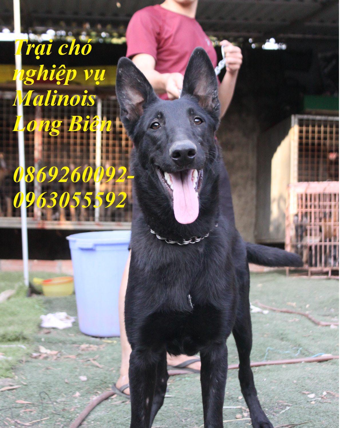 Chó belgian malinois trưởng thành tại trại chó malinois Long Biên