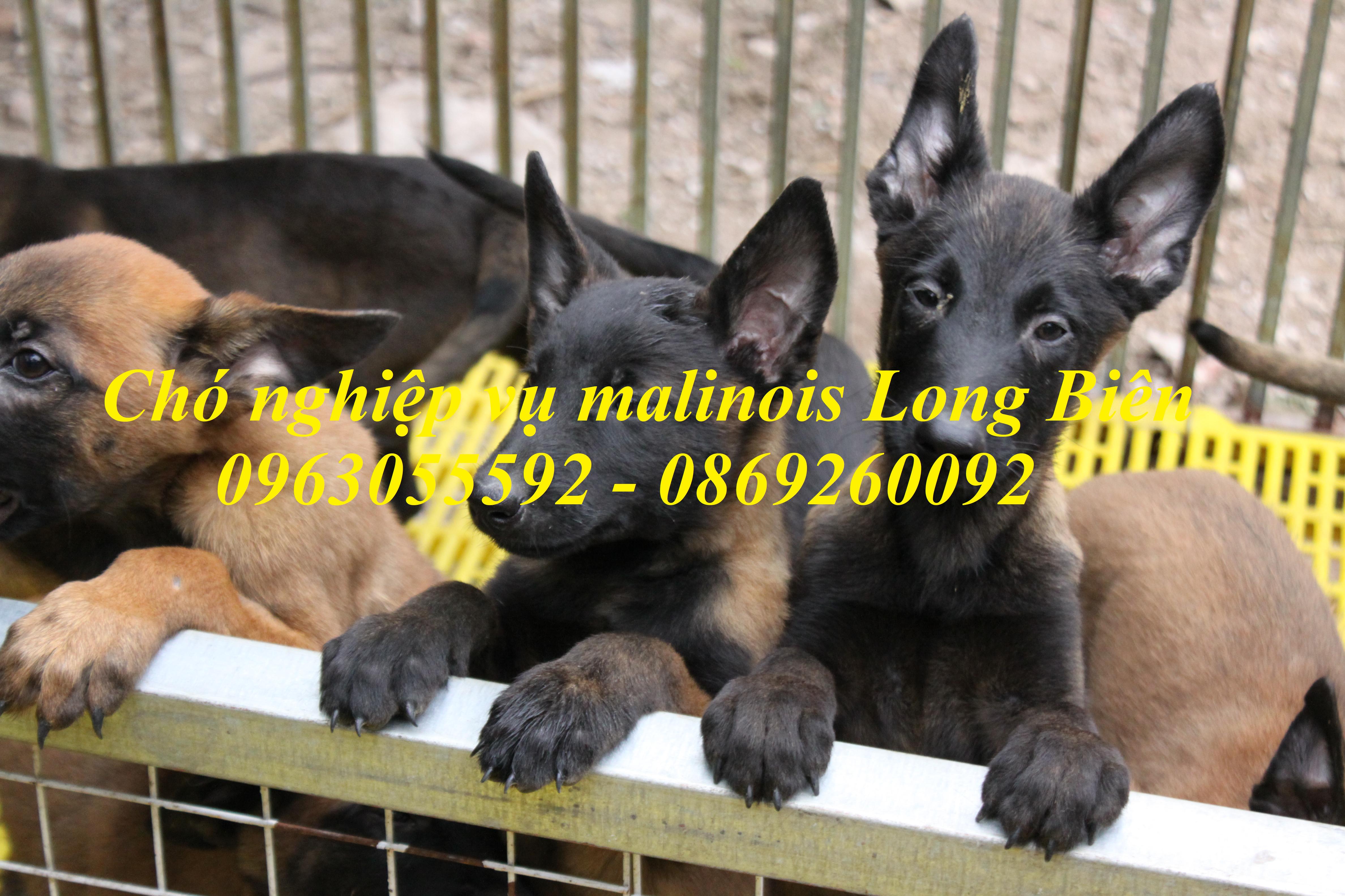 Chó belgian malinois 2 tháng tuổi tại trại chó nghiệp vụ malinois Long Biên