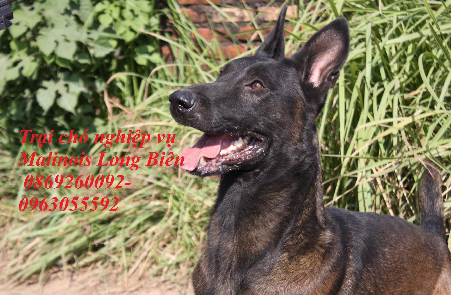 Chó belgian malinois luôn hướng ánh mắt về chủ tại trại chó nghiệp vụ malinois Long Biên