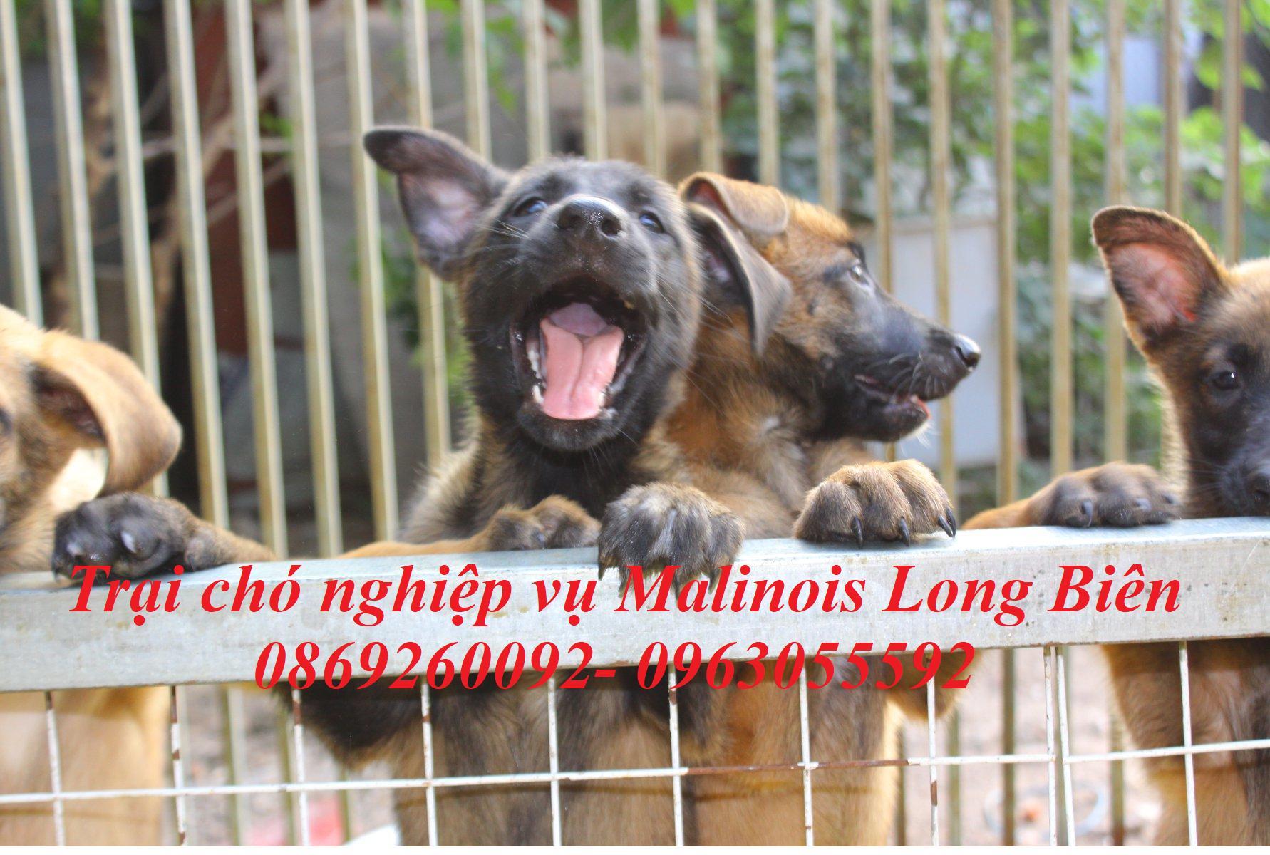 Chó belgian malinois đang ngày được ưa chuộng khắp nơi trên thế giới.