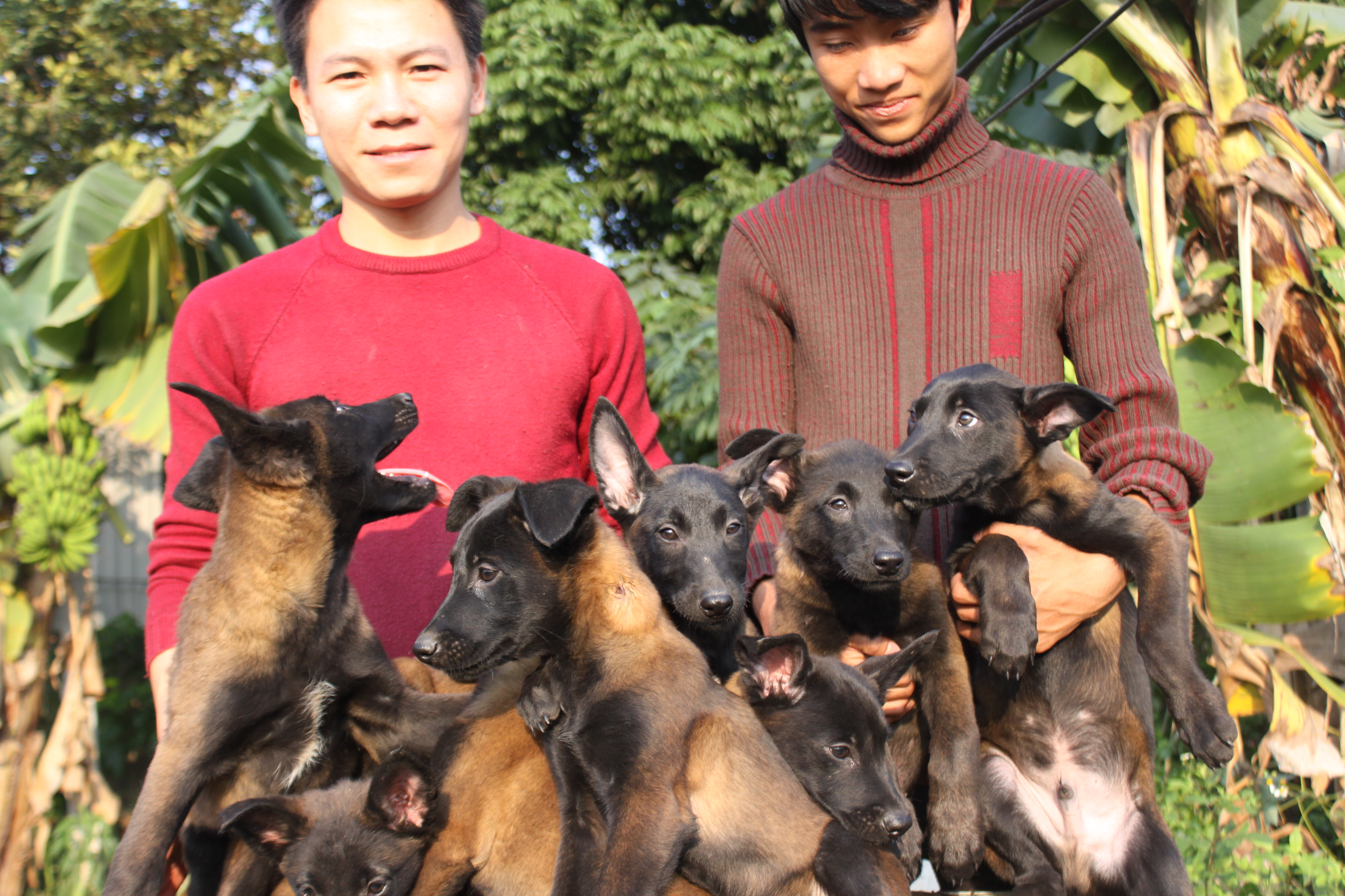 Becgie malinois con được sinh sản trại trại chó Malinois Long Biên