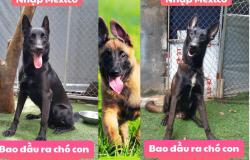 Chó malinois và chế độ ăn hợp lý