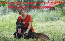 Becgie Bỉ Malinois và cách chọn chó nuôi sinh sản.