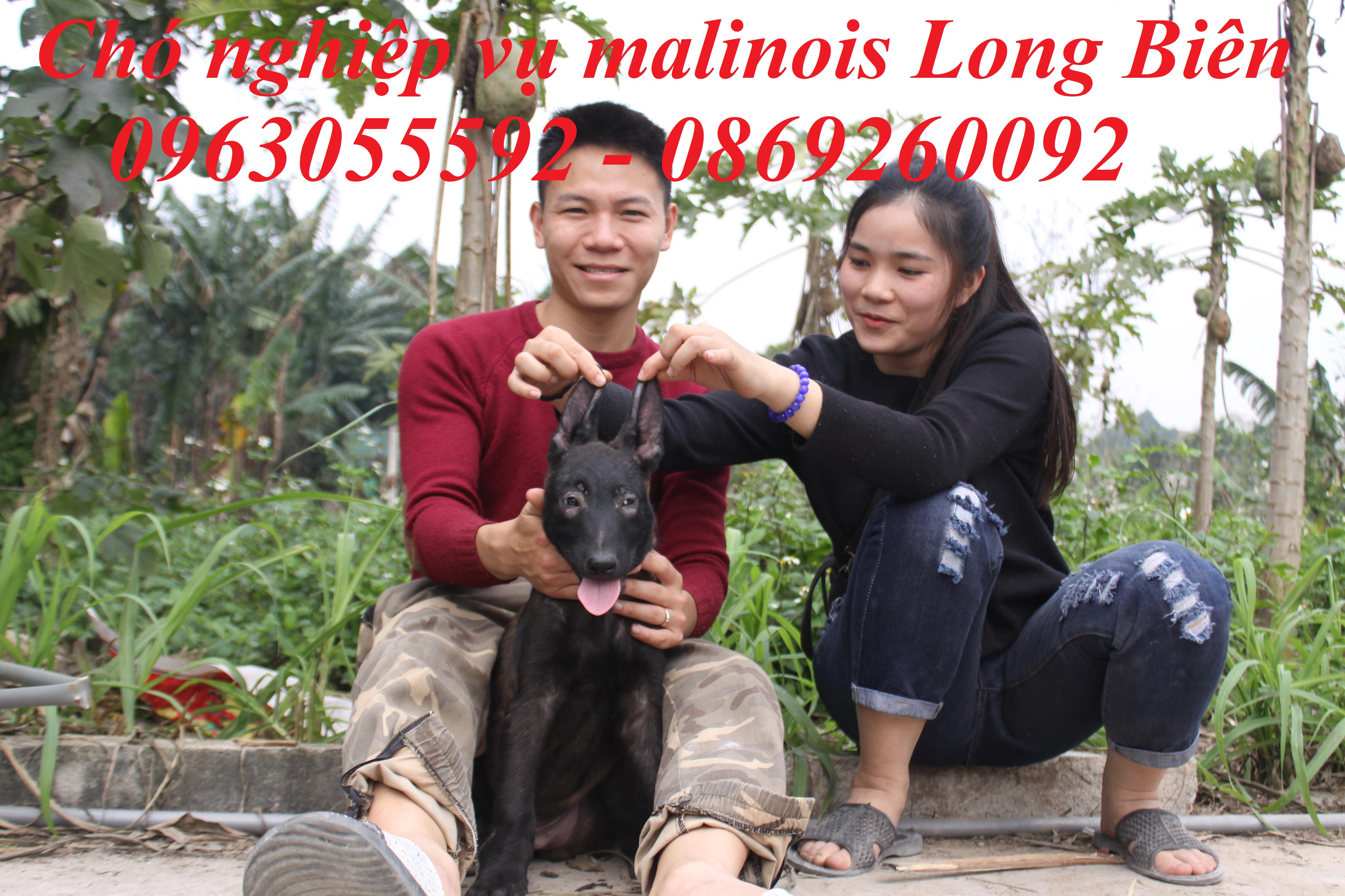 Becgie Bỉ Malinois con tại trại chó Malinois Long Biên
