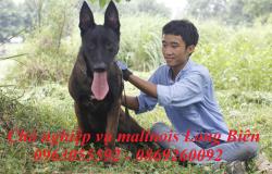 Chó Malinois đen có giá bao nhiêu?